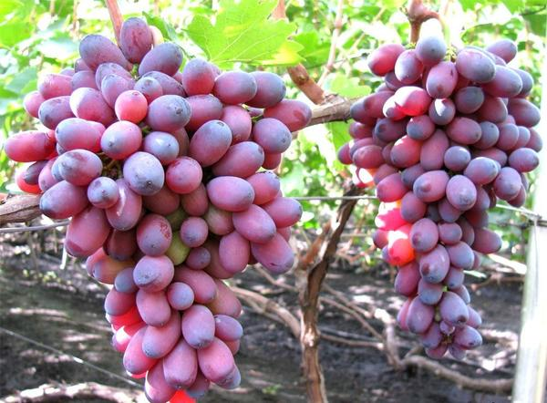 Примерно такие кисти винограда (даже еще крупнее) были в саду старого садовода; фото с сайта 4udesnaya-da4a.com