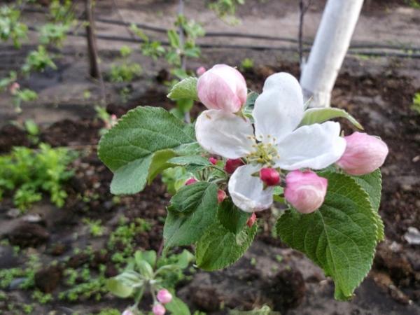 Если саженцы зацвели раньше положенного срока, все цветки нужно удалить; фото с сайта poradu.pp.ua