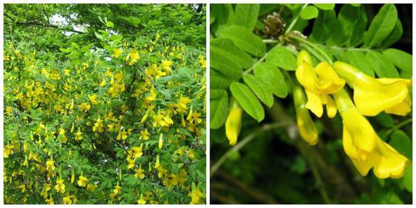 Живая изгородь из караганы кустарниковой, Фото с сайта pitersad.ru Ее цветки крупным планом. Фото с сайта knigazdorovya.com