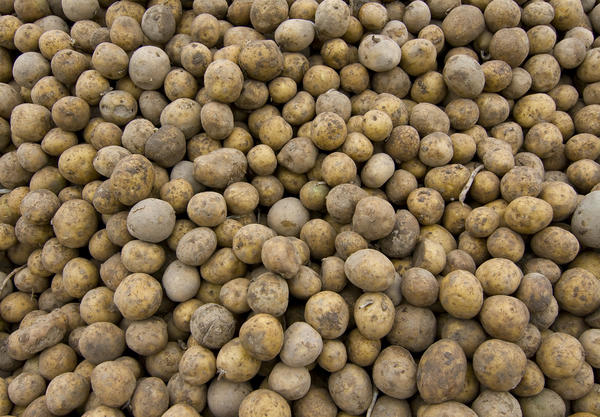 Хранение картофеля навалом