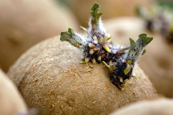В весенний период для предотвращения прорастания картофеля нужно снижать температуру; фото с сайта dacha.help