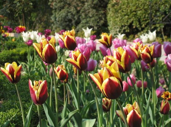 Цветут тюльпаны Триумф, на переднем плане сорт Gavota
