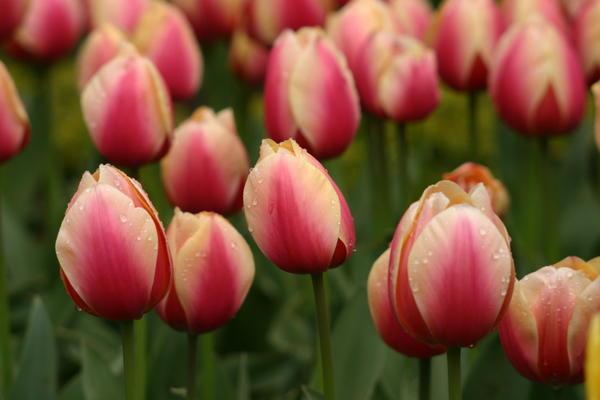 Тюльпан сорт Staning Apricot, фото А. Папкова