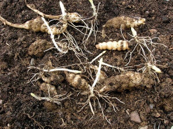 Уборка урожая стахиса, фото с сайта greeninfo.ru