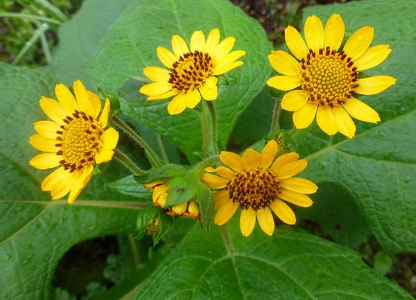 Якон в цветении, фото с сайта anniesannuals.com