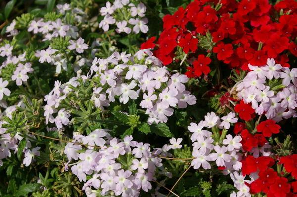 Вербена гибридная, собрав все свои силы, цветет до осенних заморозков, фото автора