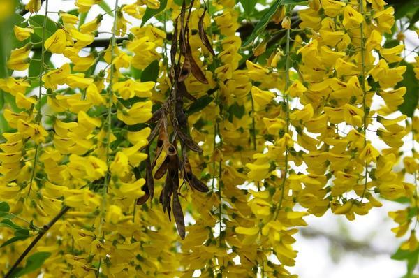 Иногда бобы бобовника висят вплоть до следующего цветения, фото автора