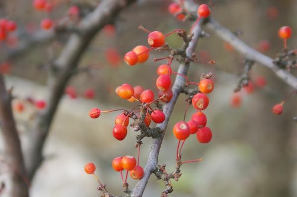 Созрели плоды декоративной яблоньки, фото автора