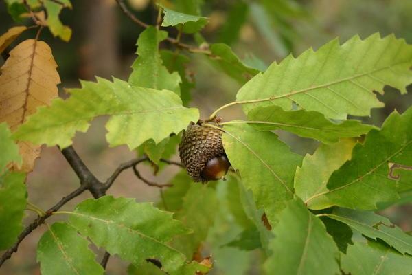 Желудь дуба ливанского, фото автора