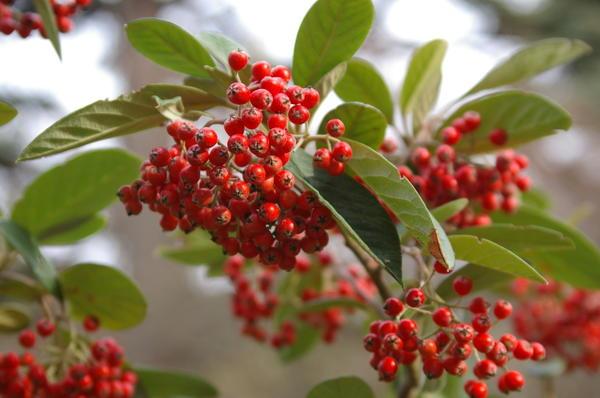 Плоды кизильников - корм для птиц в зимнее время, фото автора