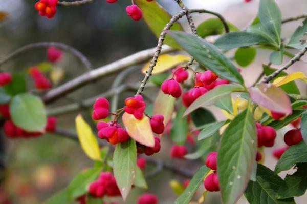 Созрели плоды одного из бересклетов в Саду , фото автора