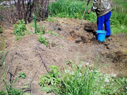Это куча перегноя травяного. Она образовалась за одну зиму, фото автора