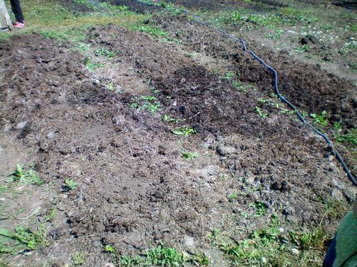 Грядки замульчированы травяным перегноем, фото автора