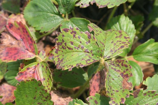 Листья сигнализируют о недостатке питания
