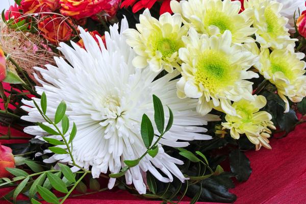 Хризантемы из букета можно размножить черенкованием