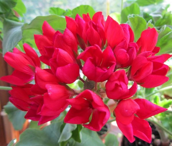 Пеларгония тюльпановидная. Фото с сайта fuchsia-pelargonium.narod.ru