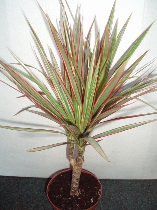 Драцена - неприхотливая пальма для гостиной