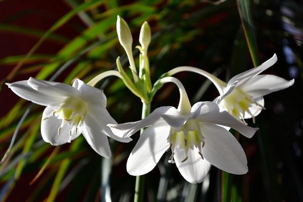 Цветки эухариса крупным планом