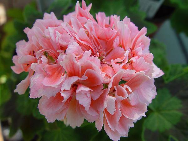 Пеларгония с нежно-розовыми цветками. Фото с сайта alltompelargoner.se