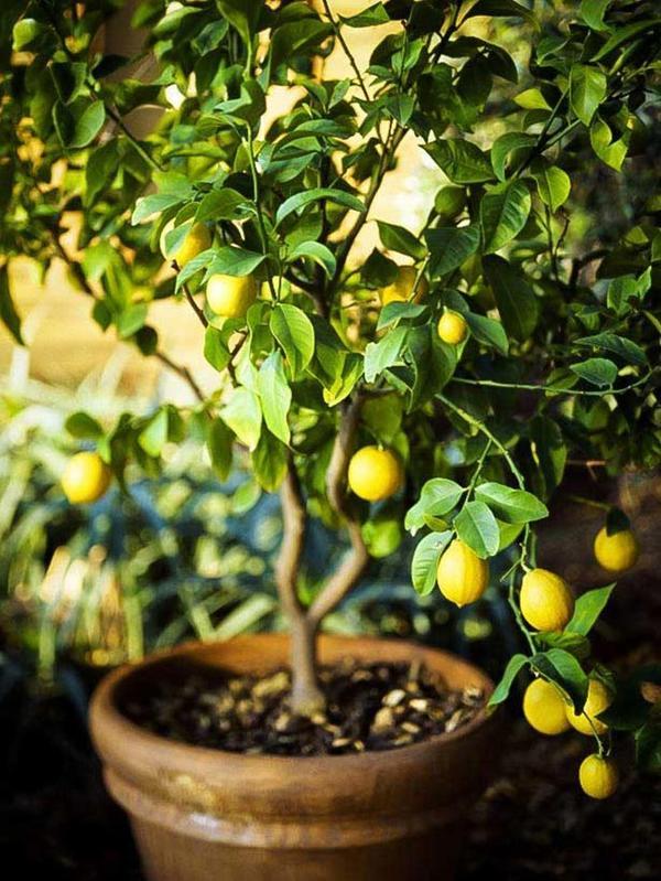 Лимонное дерево - моя мечта! Фото с сайта sketchysloth.com