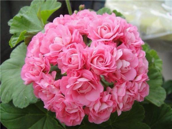 Цветки этой пеларгонии похожи на миниатюрные розы. Фото с сайта tam.com.ua