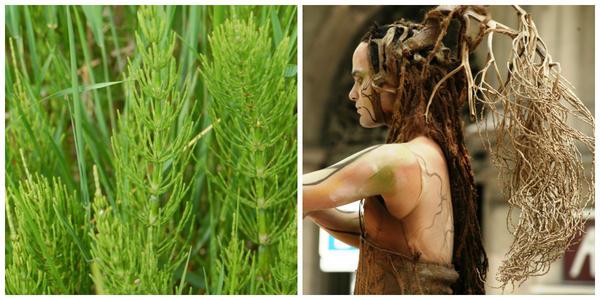 Хвощ полевой, летние побеги. Фото с сайта whisperingearth.co.uk. Волосы из растений на живой скульптуре, Барселона, Испания