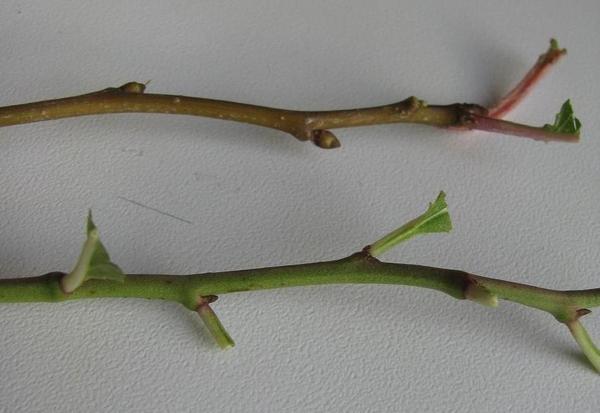 Листья обрезаны, фото автора