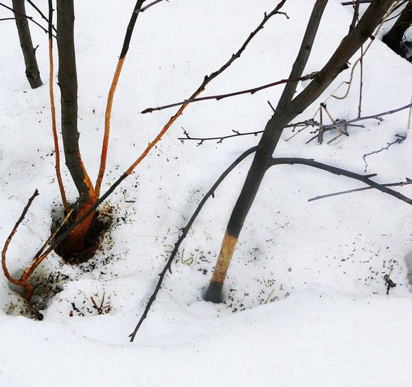 Саженцы нужно обязательно защитить от грызунов. Фото с сайта pitomnik45km.ru