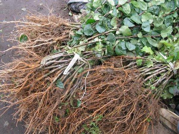 Перед прикопкой листья с саженцев нужно удалить. Фото с сайта iskra-sev.ru