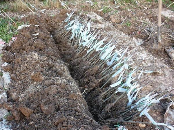 Прикопка саженцев в траншее. Фото с сайта premier-agro.ru