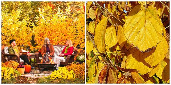 Гамамелисы осенью. Фото с сайта midwestliving.com. Гамамелис мягкий, Фото с сайта findmeplants.co.uk