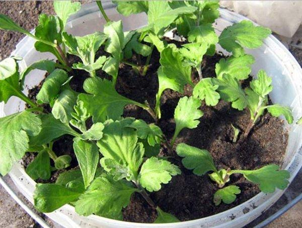 В период укоренения черенкам нужно много света. Фото с сайта agronomu.com