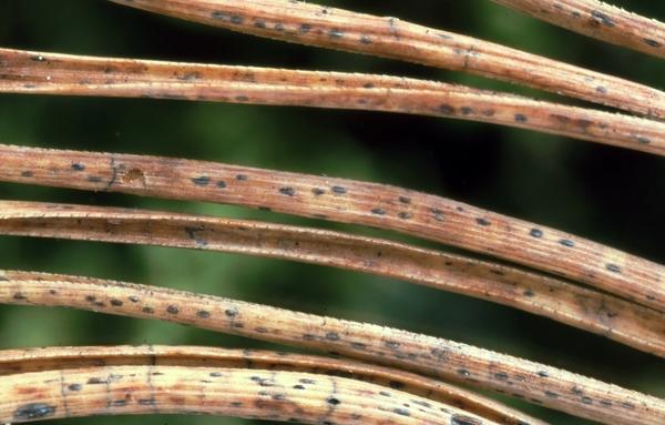 Плодоношение гриба на хвое. Фото с сайта ipmimages.org