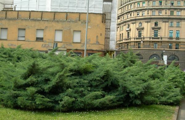 Широкий бордюр из можжевельника казацкого. Фото с сайта zgorod-nn.ru
