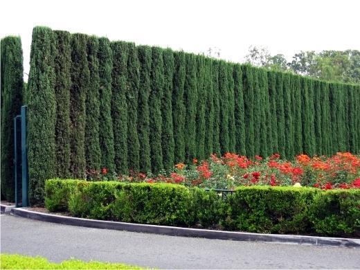 Живая изгородь из можжевельника виргинского. Фото с сайта lki-nn.ru
