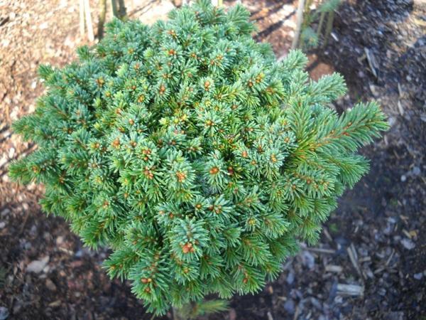 Ель обыкновенная Gregoryana. Фото с сайта conifertreasury.org