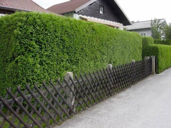 Живая изгородь из можжевельника обыкновенного. Фото с сайта dvalepestka.ru