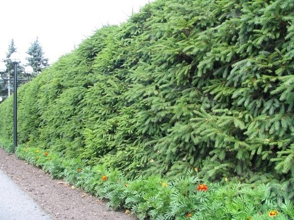 Живая изгородь из ели обыкновенной. Фото с сайта vamzabor.net