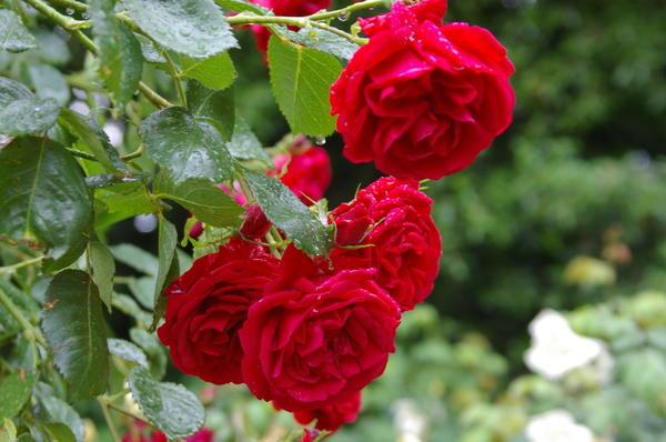 Роза Кордеса сорт Sympathie. Фото автора.