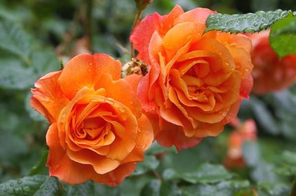 Полуплетистая роза сорт Westerland. Фото автора