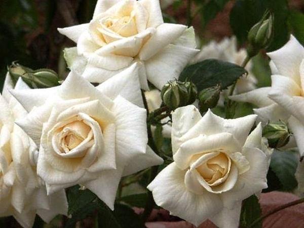 Роза Кордеса сорт Ilse Krohn Superior, фото с сайта rosomaniya.ru