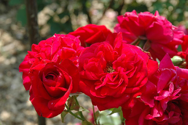 Роза Кордеса сорт Illusion, фото с сайта plants.gardensupplyco.com