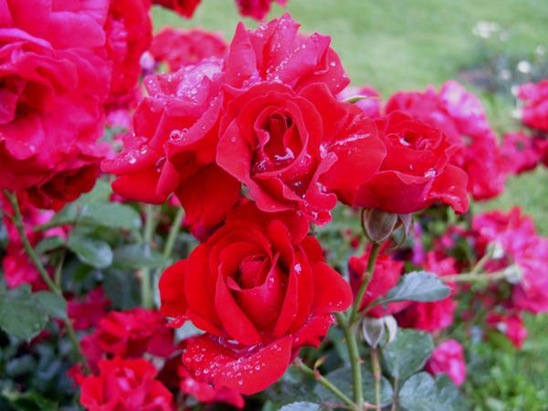 Роза Кордеса сорт Летние звезды, фото автора