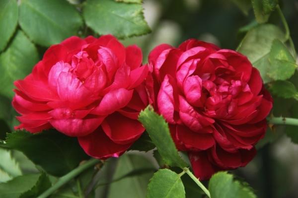 Роза Кордеса сорт Quadra, фото с сайта alexsad.ru
