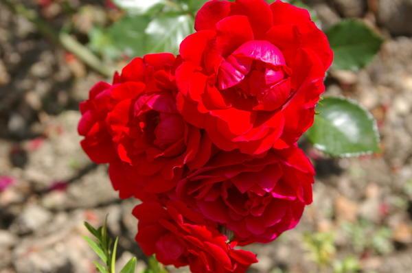 Роза Кордеса сорт Sympathie. Фото автора