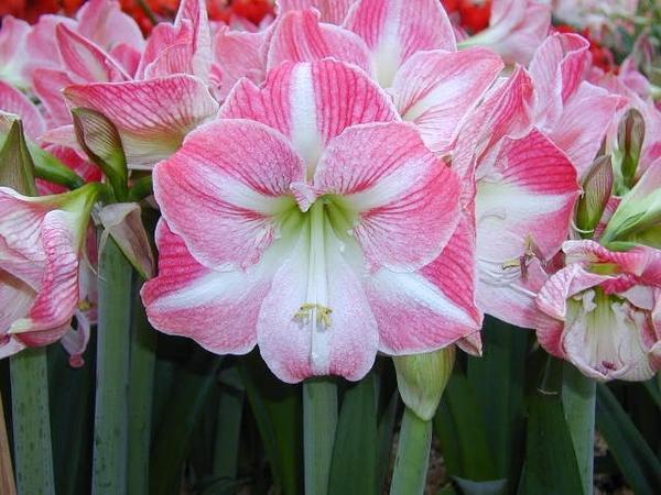 Гиппеаструм сорт Exposure. Фото с сайта  euflora.eu