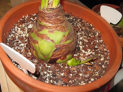 Дочерняя луковица гиппеаструма. Фото с сайта dom-krolika.ru