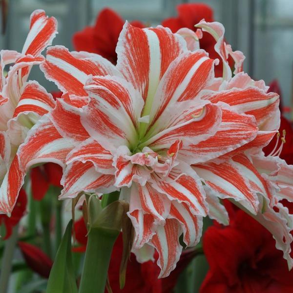 Гиппеаструм сорт Dancing Queen. Фото с сайта images-na.ssl-images-amazon.com