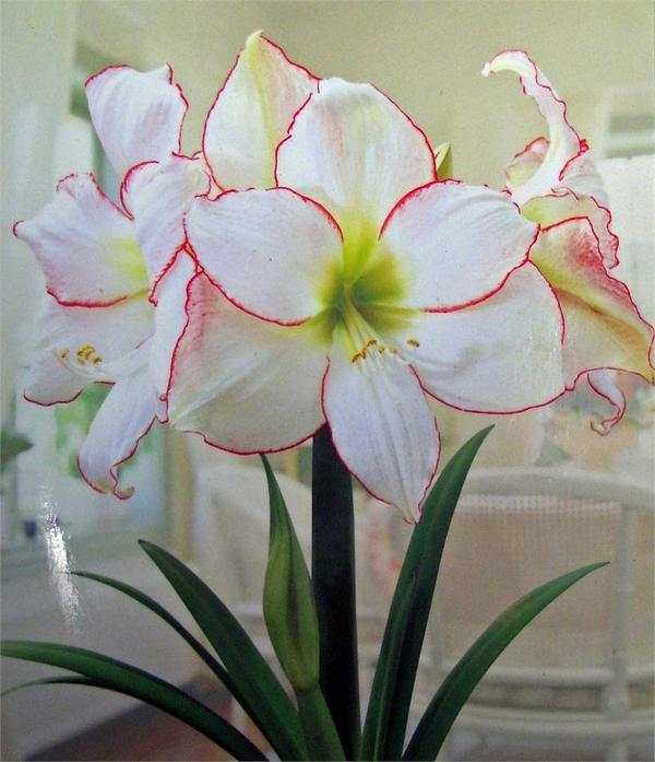 Гиппеаструм сорт Picotee. Фото с сайта myhome-flowers.ru