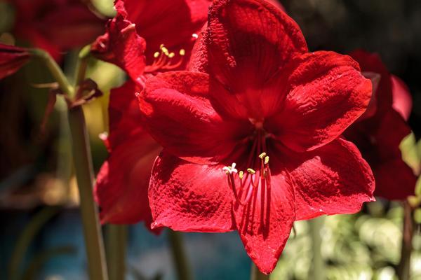 Гиппеаструм - одно из любимых комнатных растений